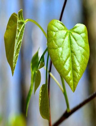 Redbud-Heart-Shaped-Leaves2_m