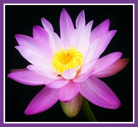 Lotus Blossom gift from the Angel of Hope